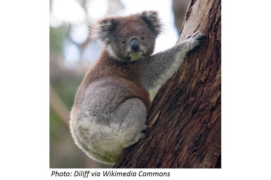 Why Koalas Hug Trees
