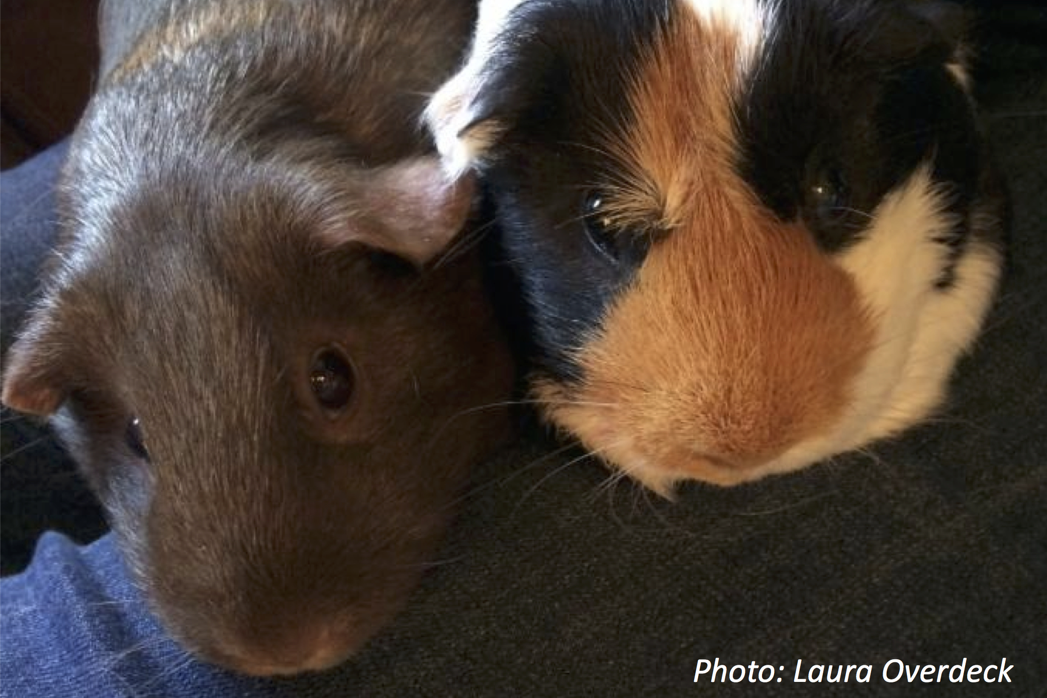 Because Guinea Pigs Need Friends, Too
