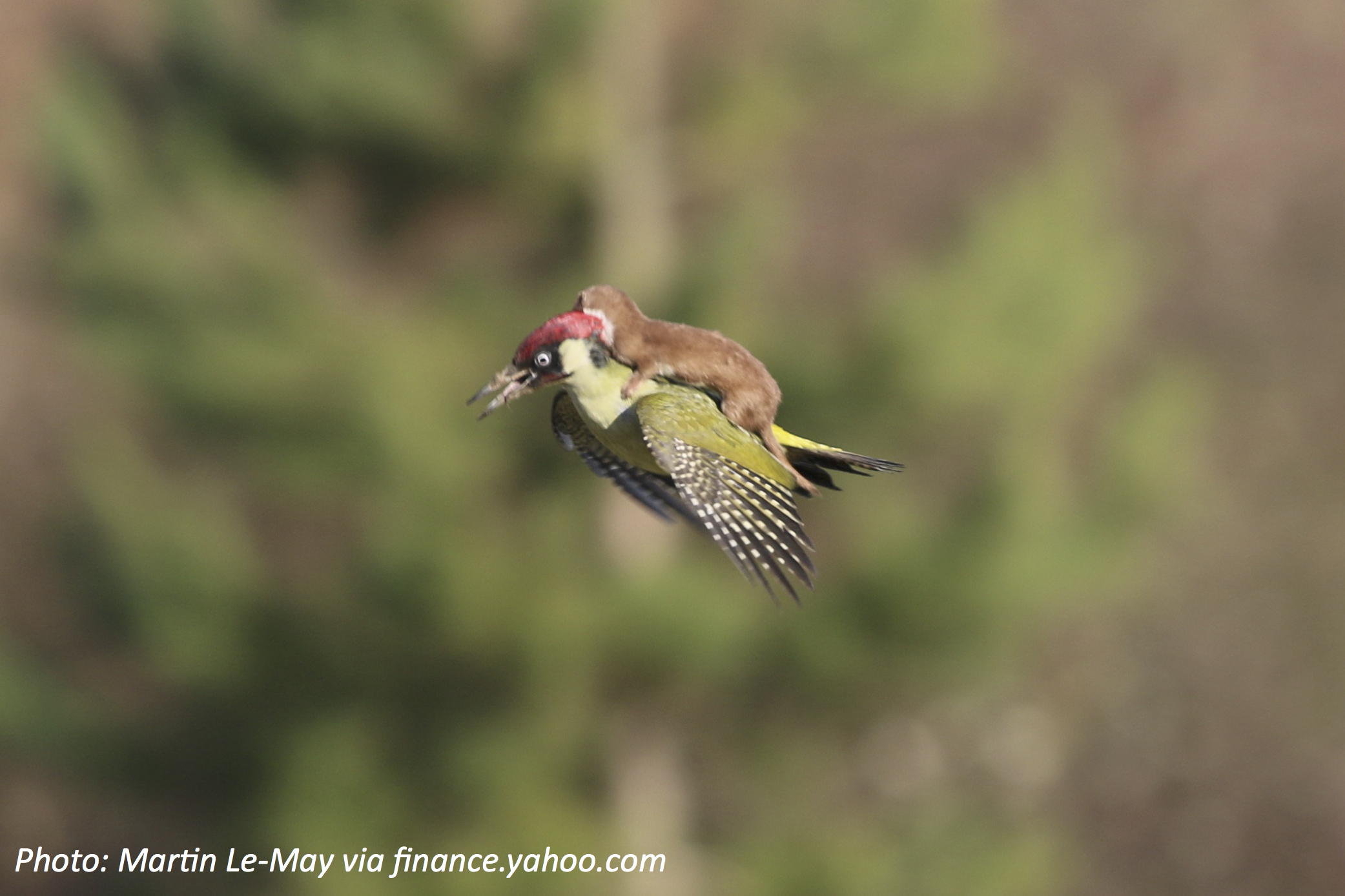 How to Ride a Woodpecker