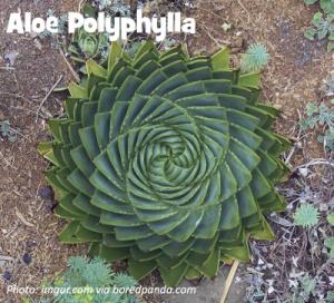 Aloe polyphylla plant