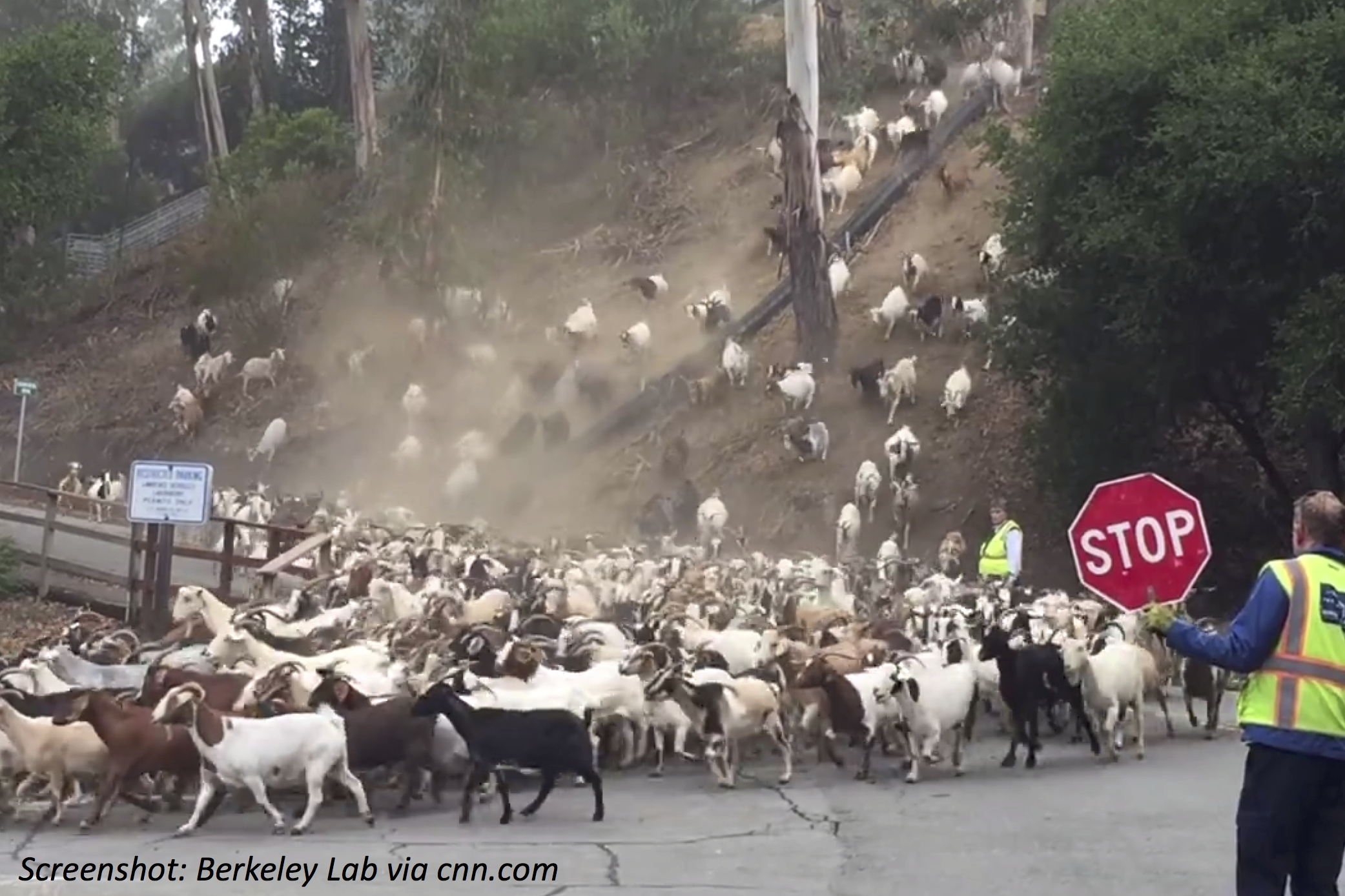 Goats on the Loose