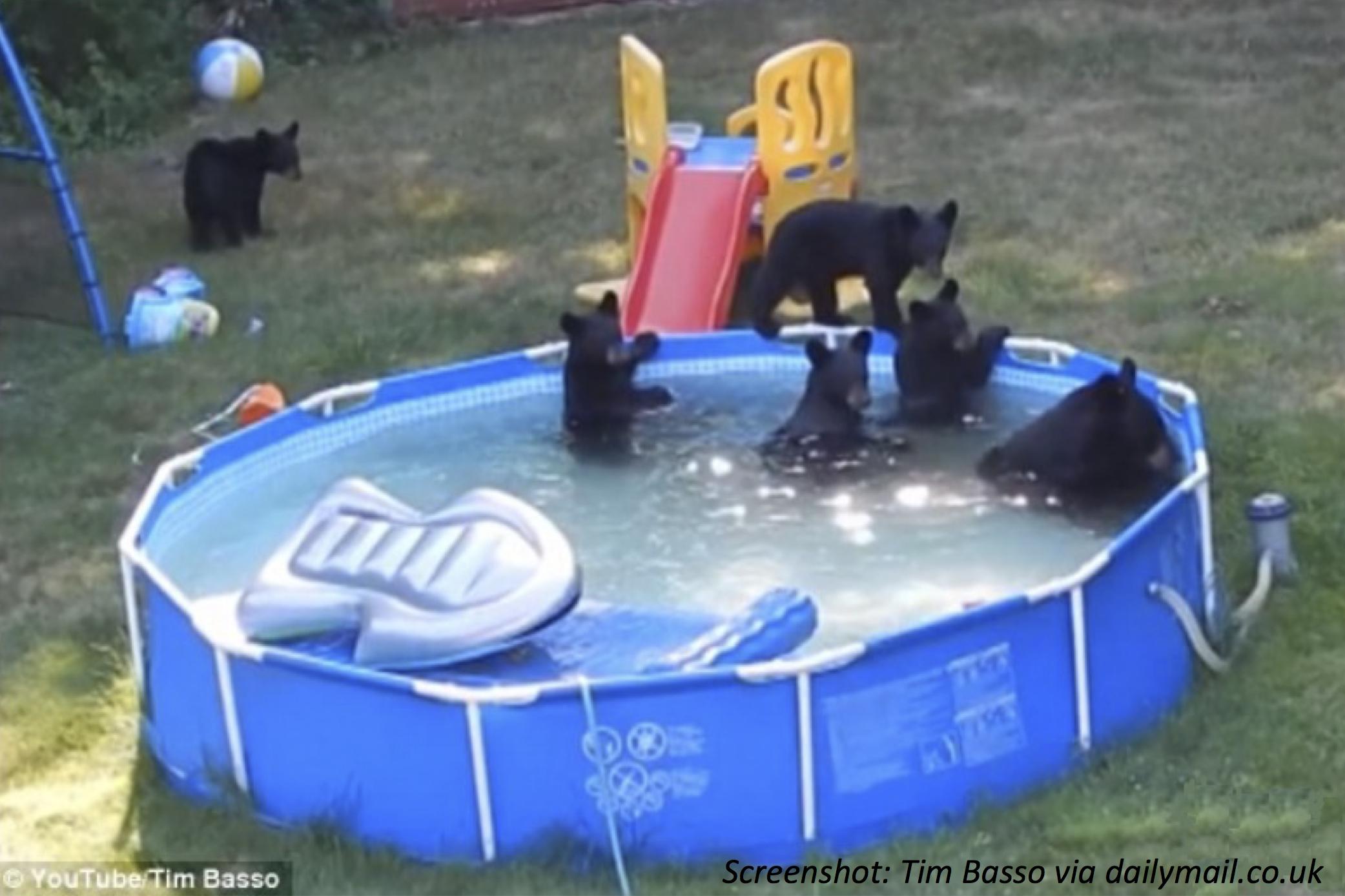Bears in the Backyard Pool
