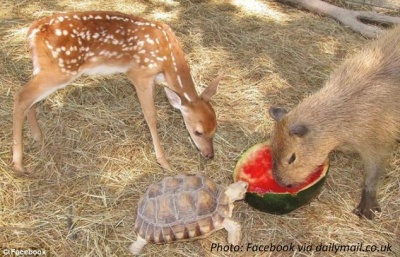 Capybara eating watermelon with friends