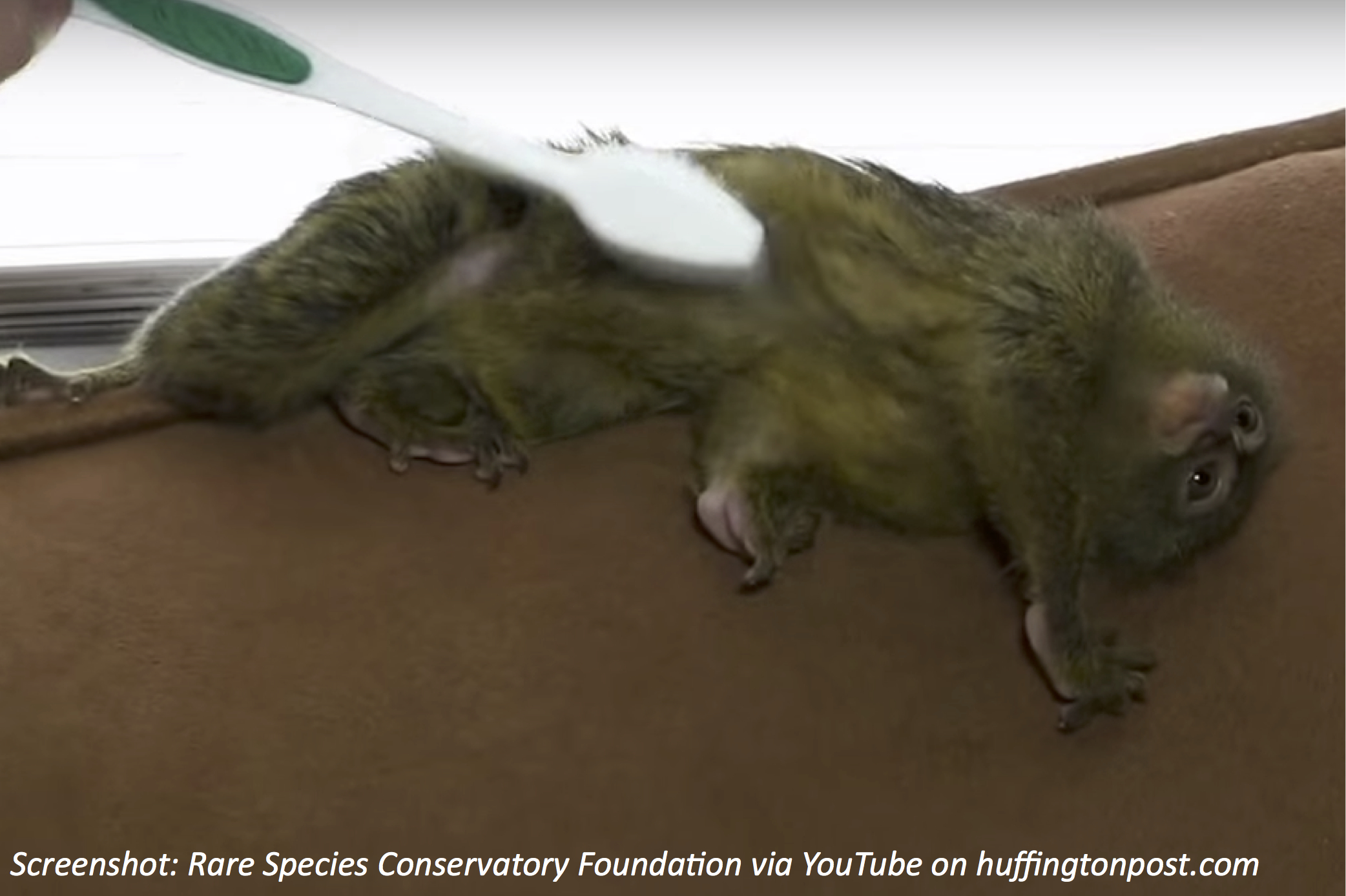 How Monkeys Use a Toothbrush