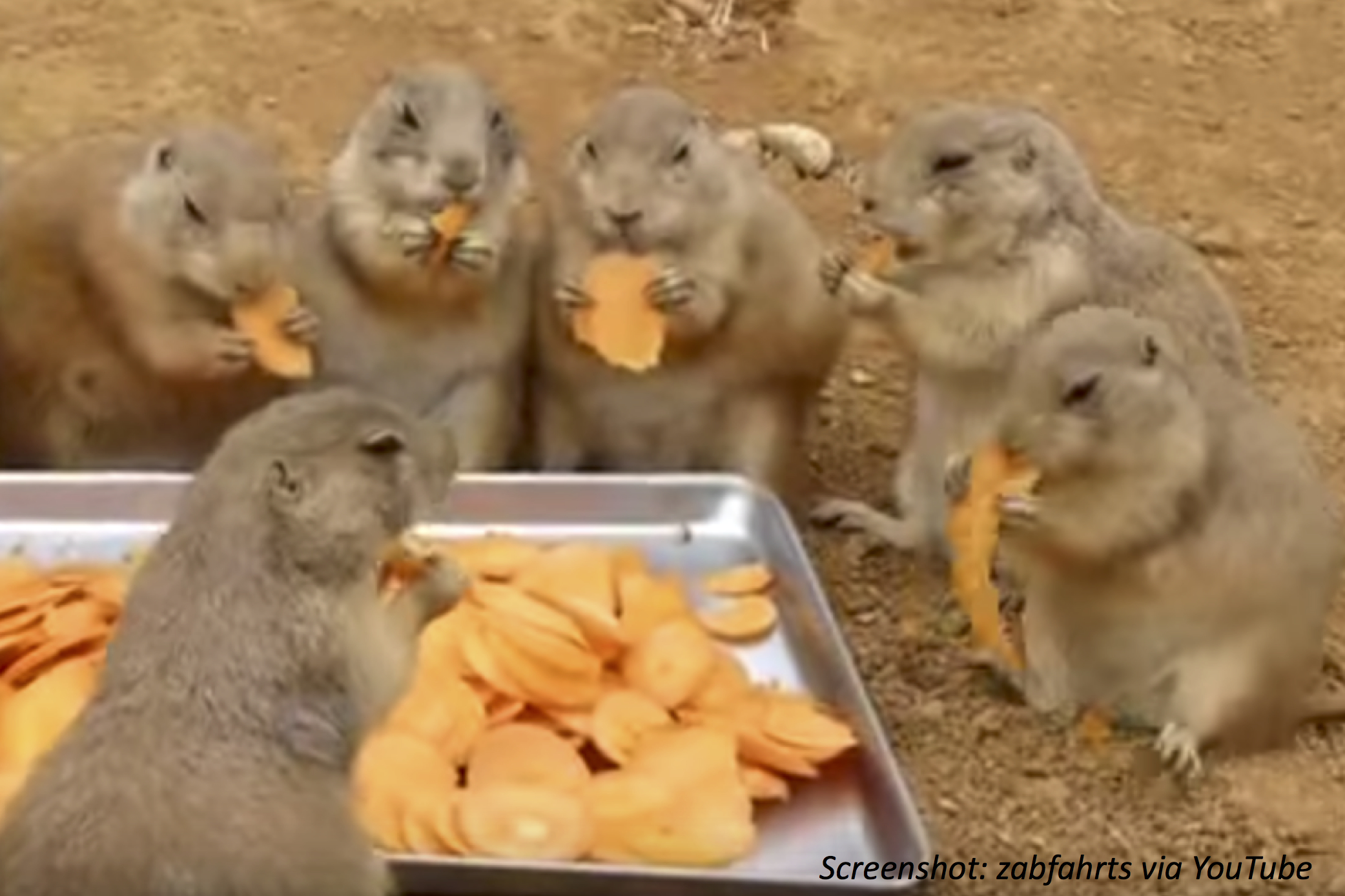 Prairie Dog Party