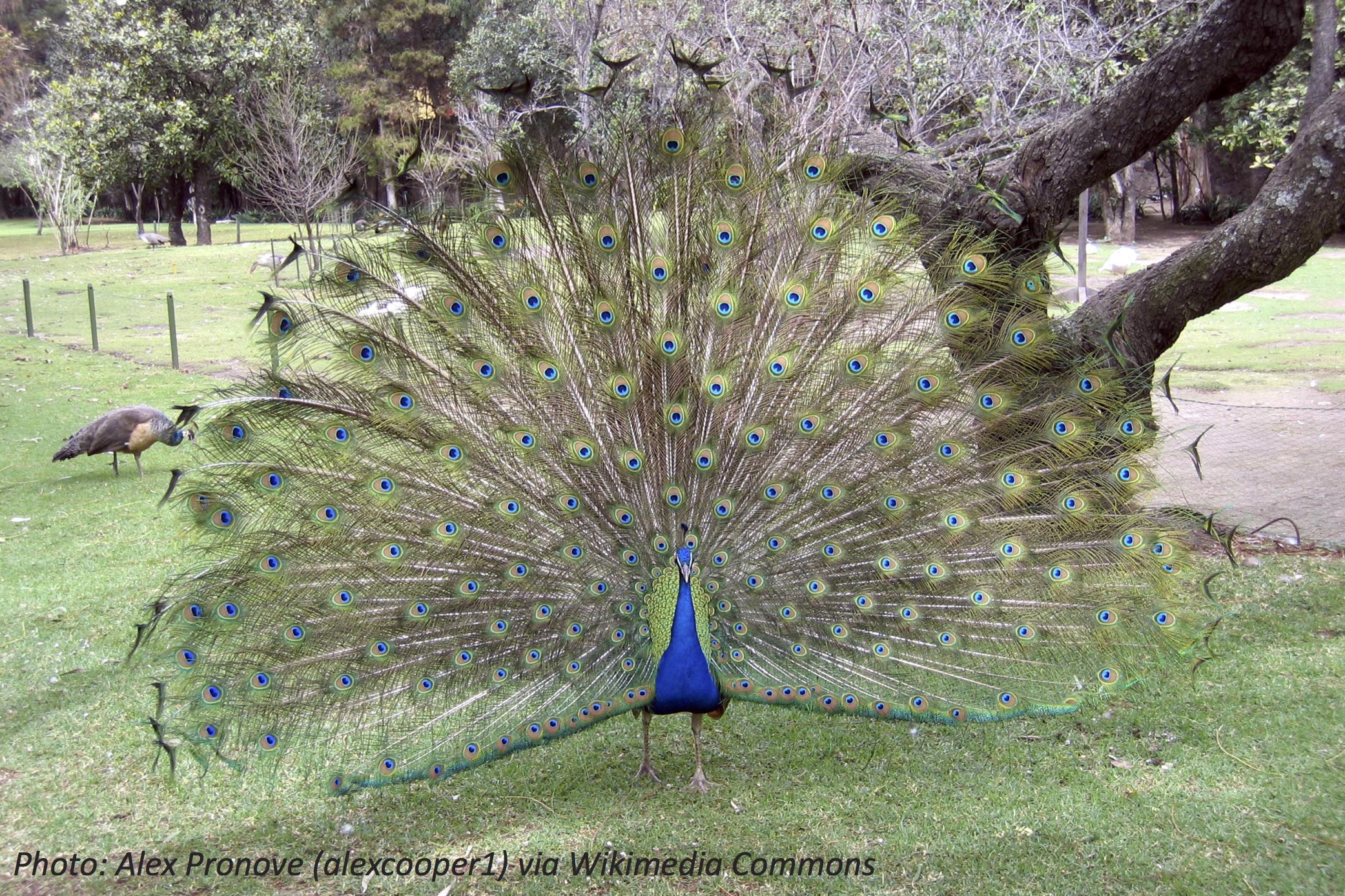 Flash Those Feathers