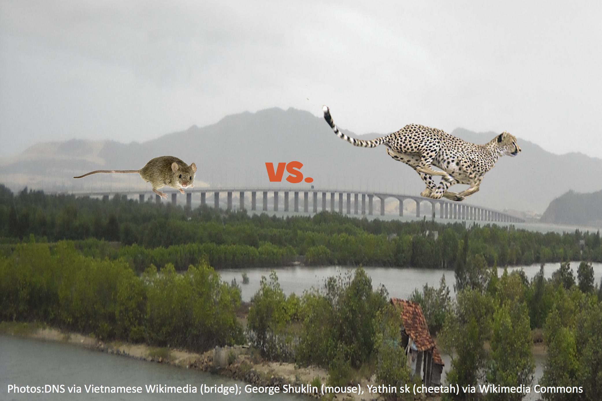 Why Did the Cheetah Cross the Bridge?