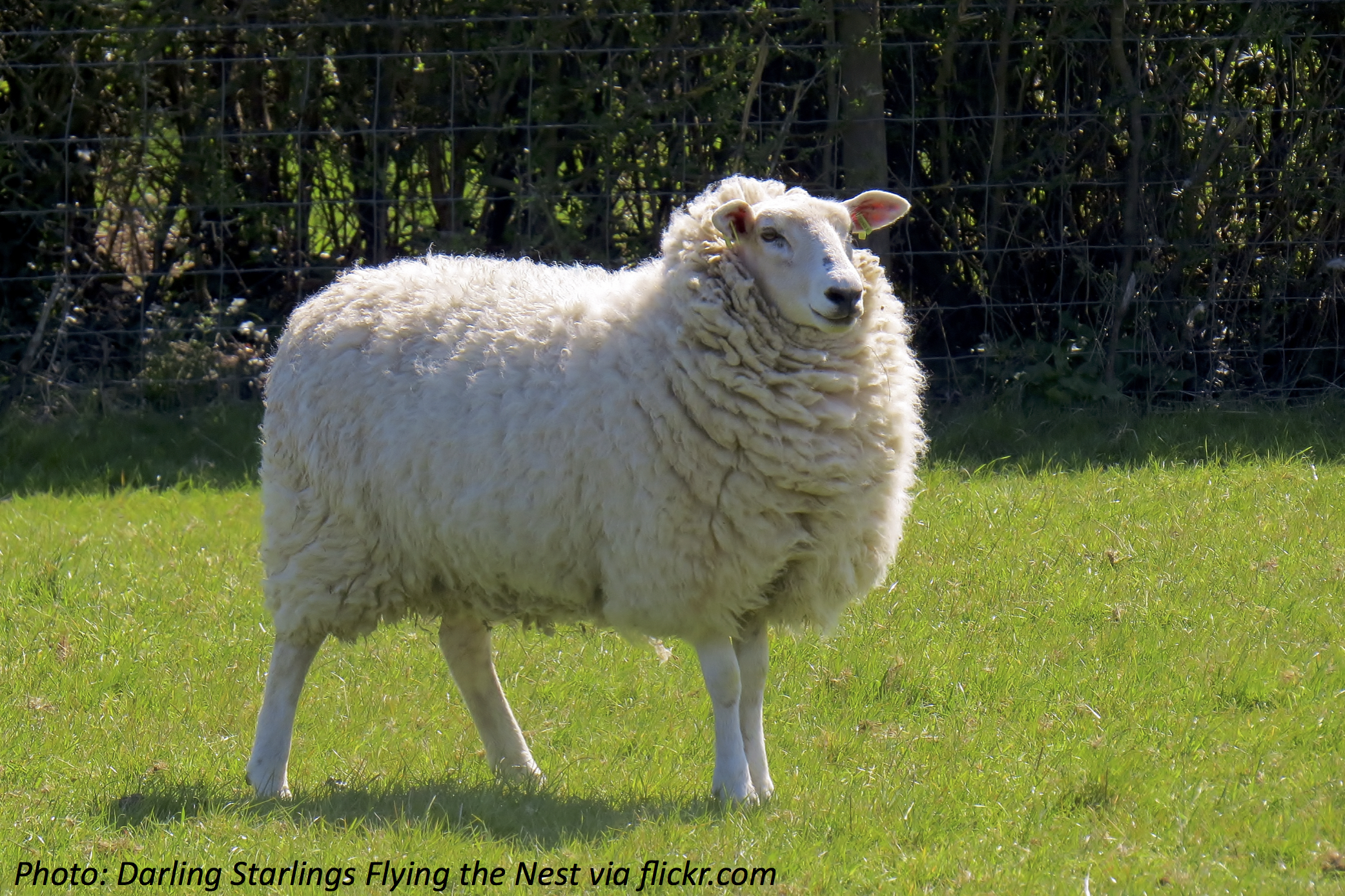 How Many Sheep Are You Wearing?