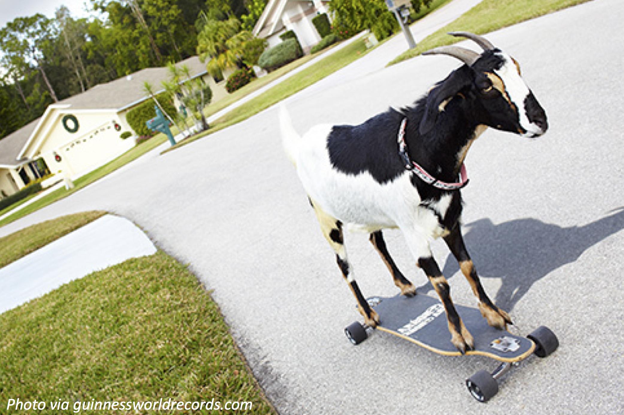 Goat on Wheels
