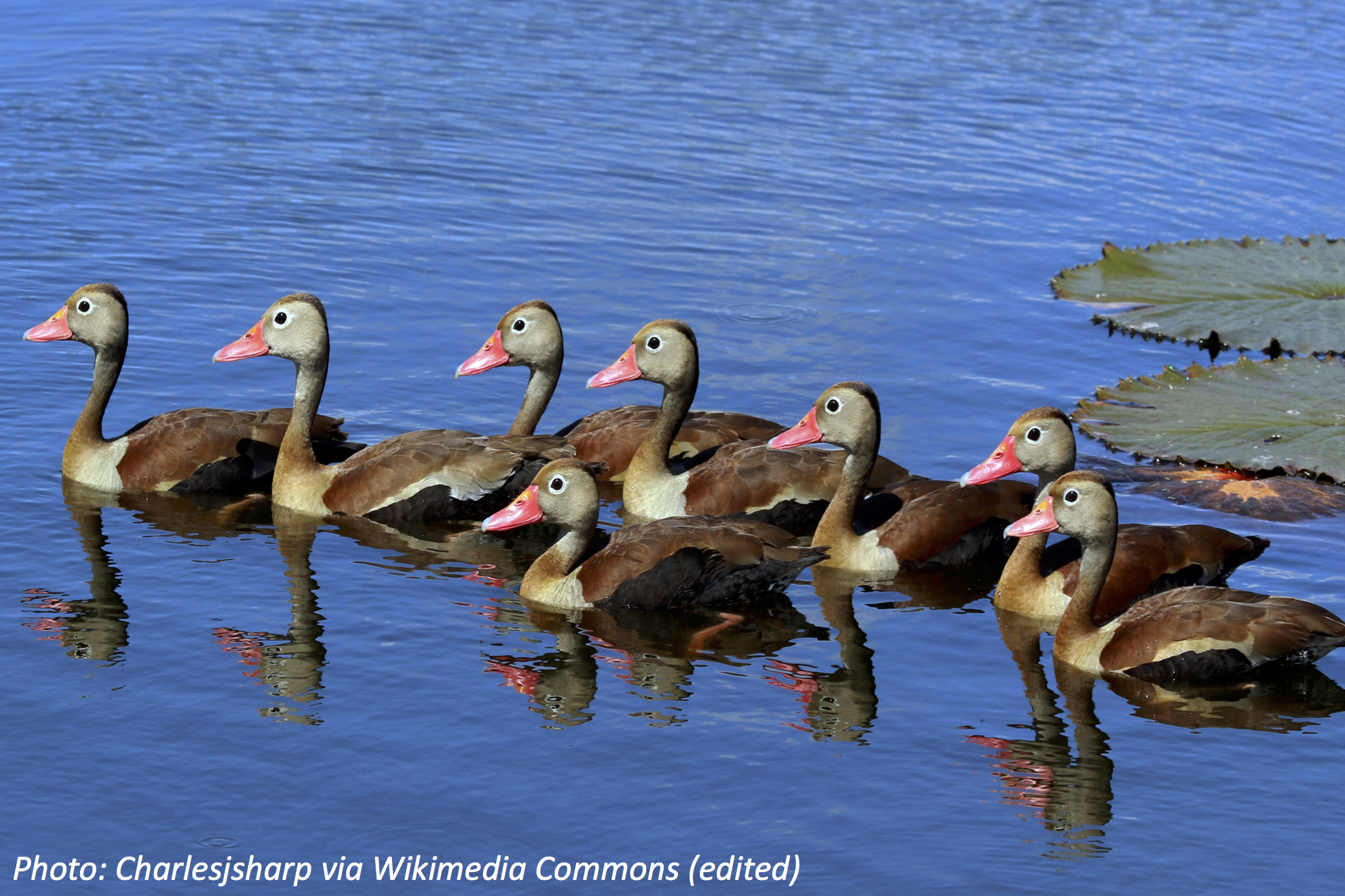 Ducks of a Different Color