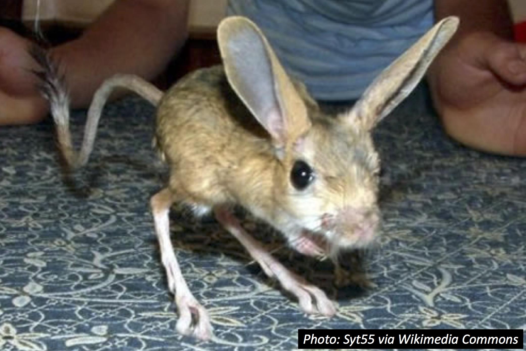 Mouse + Kangaroo = ?…