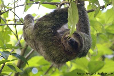 adult-sloth
