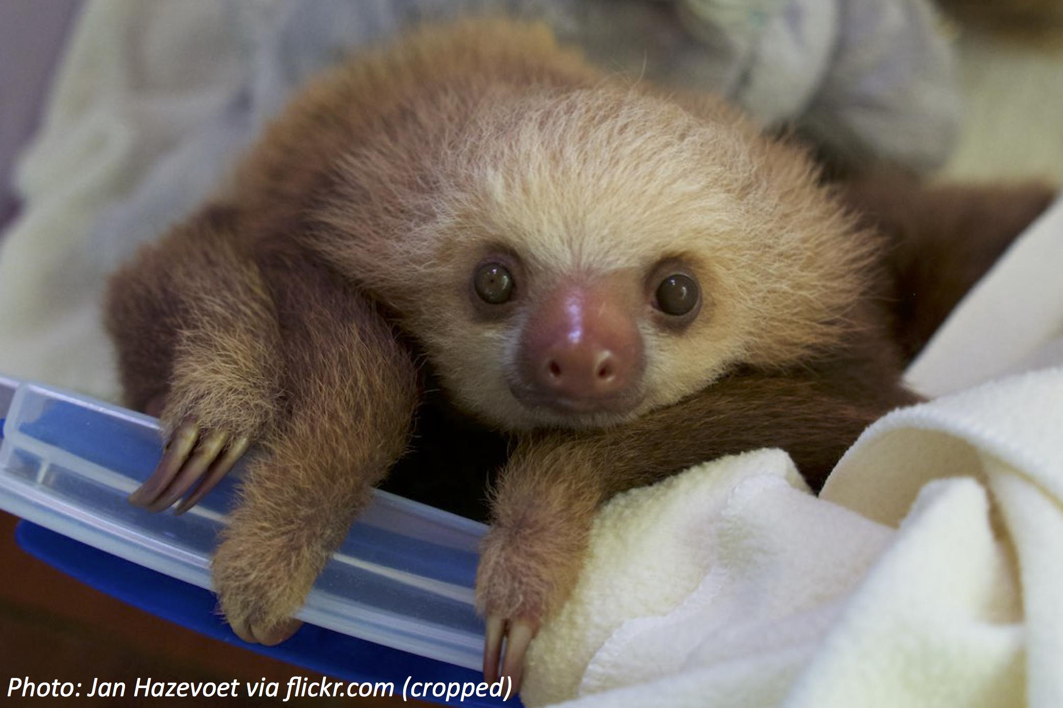 As Schlumpy As a Sloth
