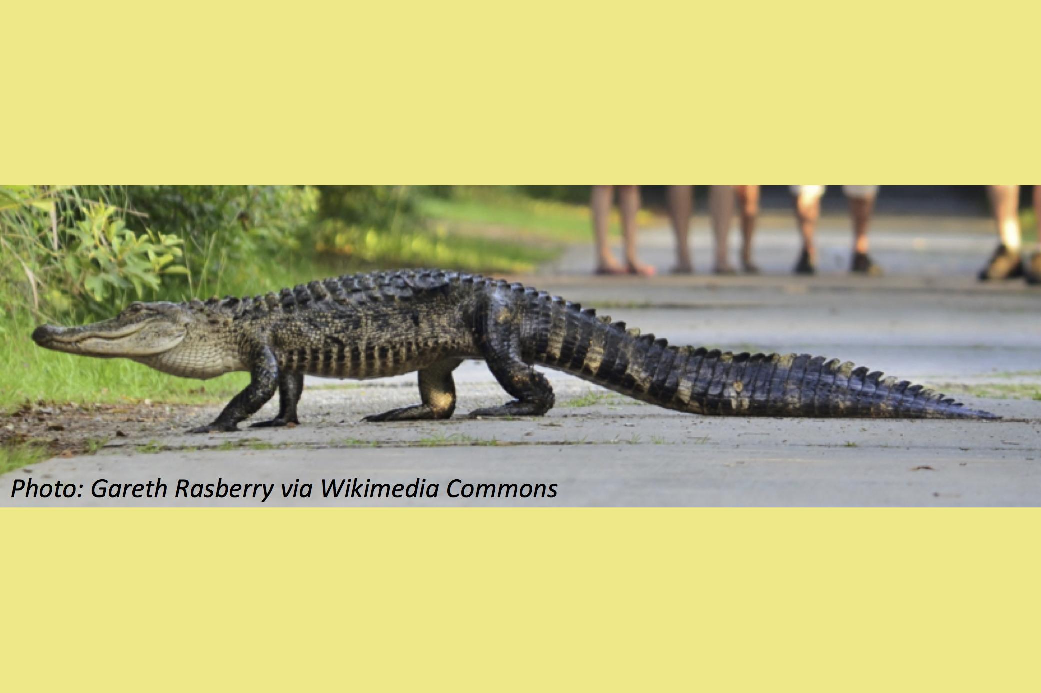 Racing Alligators