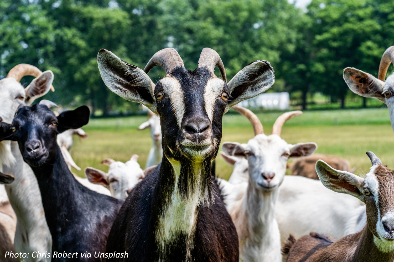 There Goats the Neighborhood