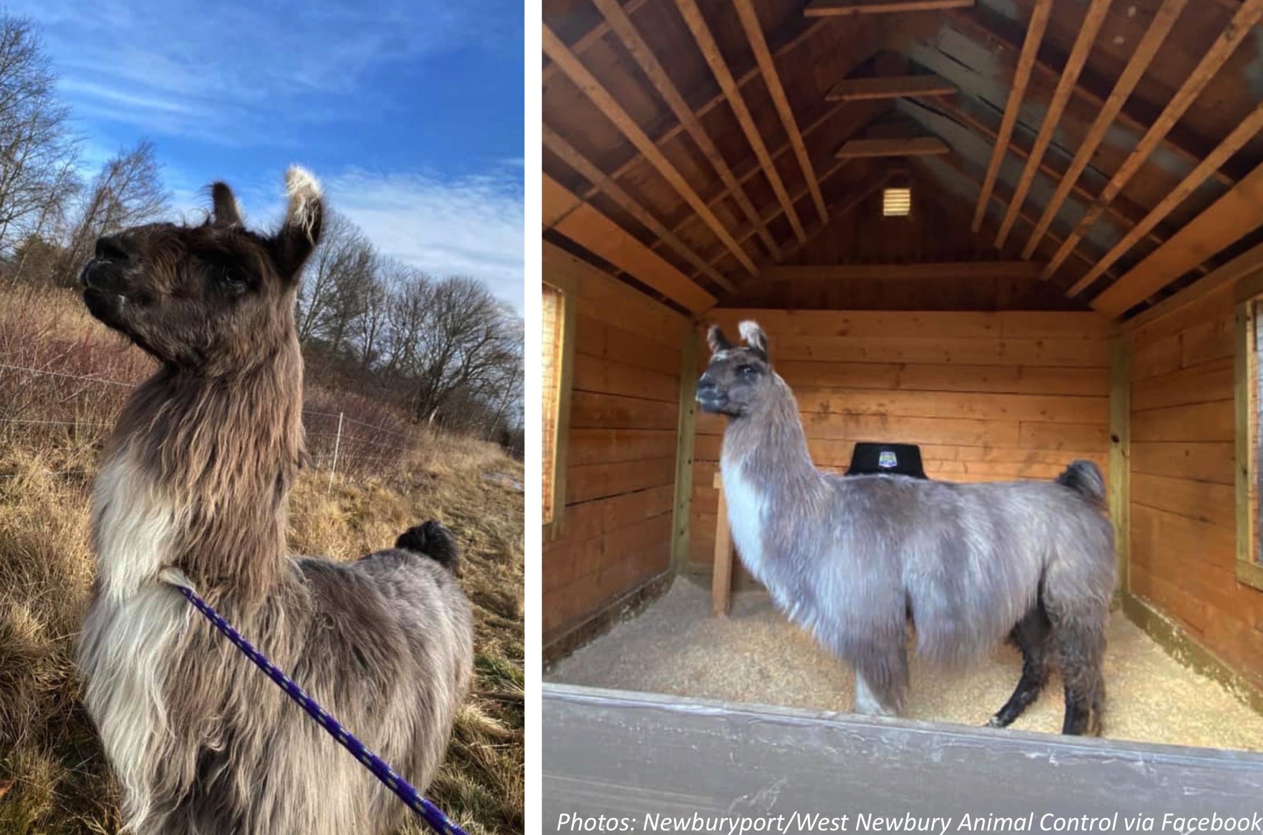 More Llama Drama