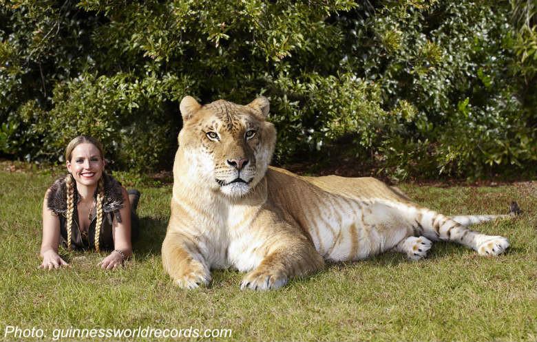 How Big Is the Biggest Cat?